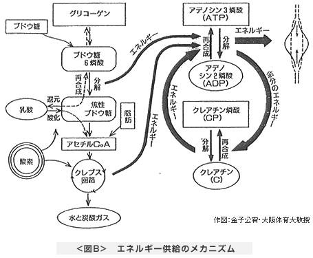 <図B> エネルギー供給のメカニズム