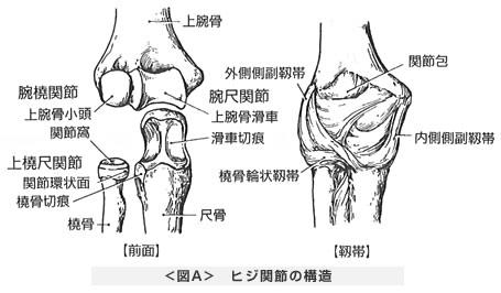 ヒジ関節の構造