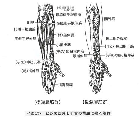 ヒジの回内と手首の背屈に働く筋群
