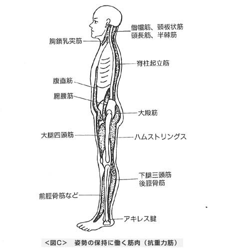 姿勢の保持に働く筋肉(抗重力筋)