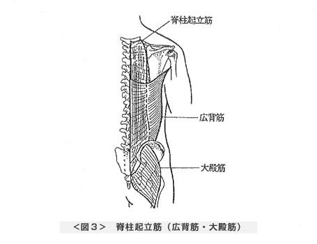脊柱起立筋(広背筋・大殿筋)