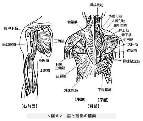 肩と背部の筋肉